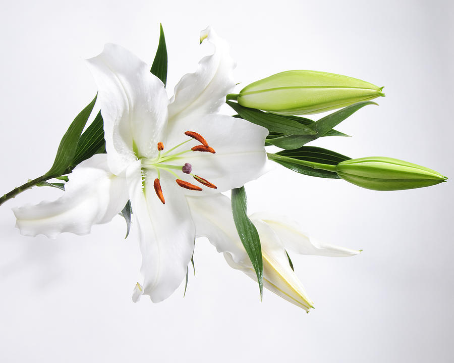 white-lily-and-buds-james-forte
