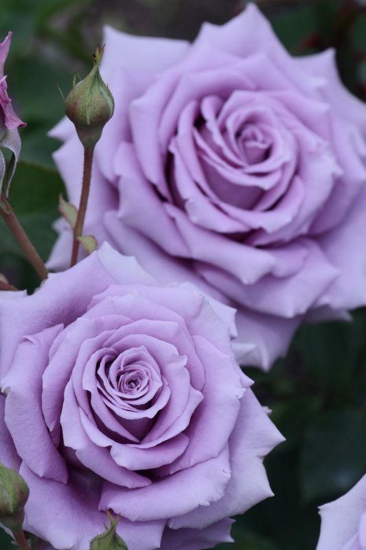 352bc25b749e82c78a696a9fa4efa668--lavender-flowers-purple-roses