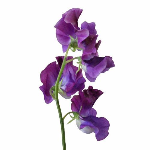 DarkPurple-SweetPeas-Stem-500_c471ce8a