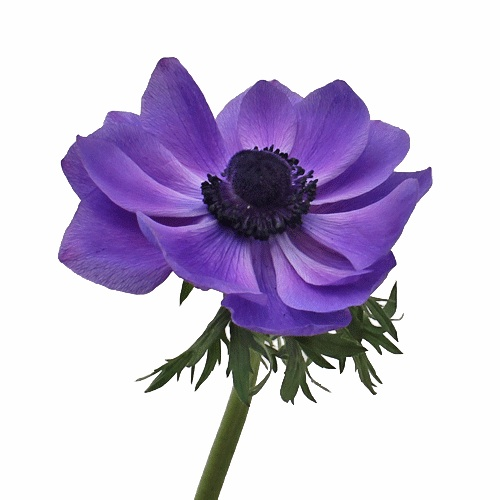 Purple-Blue-Fresh-Cut-Anemone-Fall-STEM-500_94b5133a