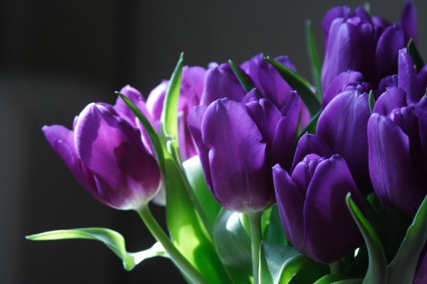 Purple tulip flowers. (1)