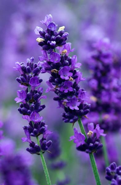 imperial-gem-lavender