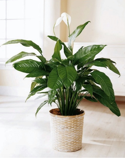 these-are-the-plants-to-keep-in-your-bedroom-for-a-good-night-s-sleep-plants-for-bedroom-58e3a871fd8437749f4df241-w620_h800