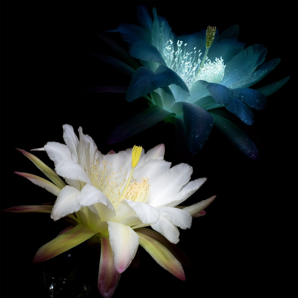Organ-Pipe-Cactus-Flower-4-Comparison