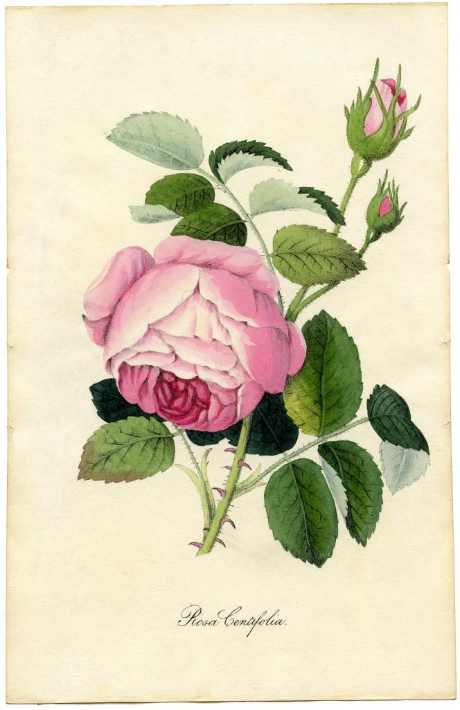 Vintage-Printable-Botanical-Rose-GraphicsFairy-sm-664x1024