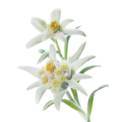 Edelweiss_Flower_500x500