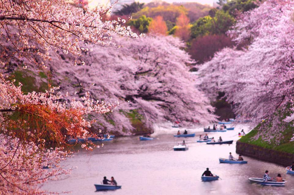 rowing-boats-during-cherry-blossom-at-chidorigafuchi-japan