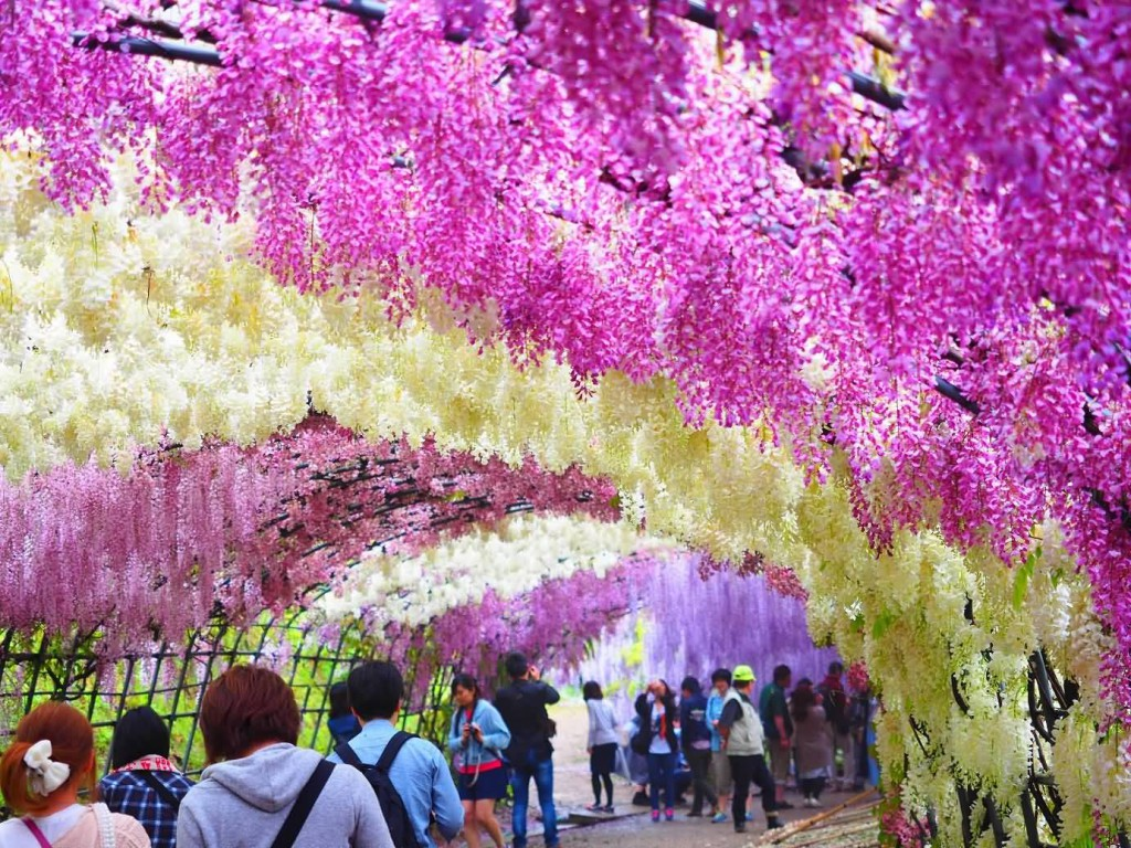 Tourists-Enjoying-The-View-Of-Wisteria-Tunnel-At-Kawachi-Fuji-Garden-In-Japan