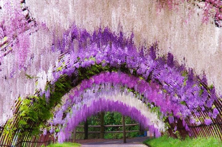 Wisteria-Tunnel-Kawachi-Fuji-Garden-7