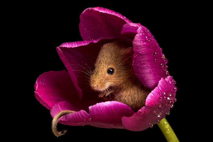 cute-harvest-mice-in-tulips-miles-herbert-8-5ad097d4c0d73__700