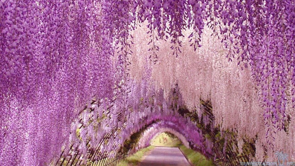 Japan Flowers Wisteria Flower Japanese Tunnel Hd Wallpapers 3d