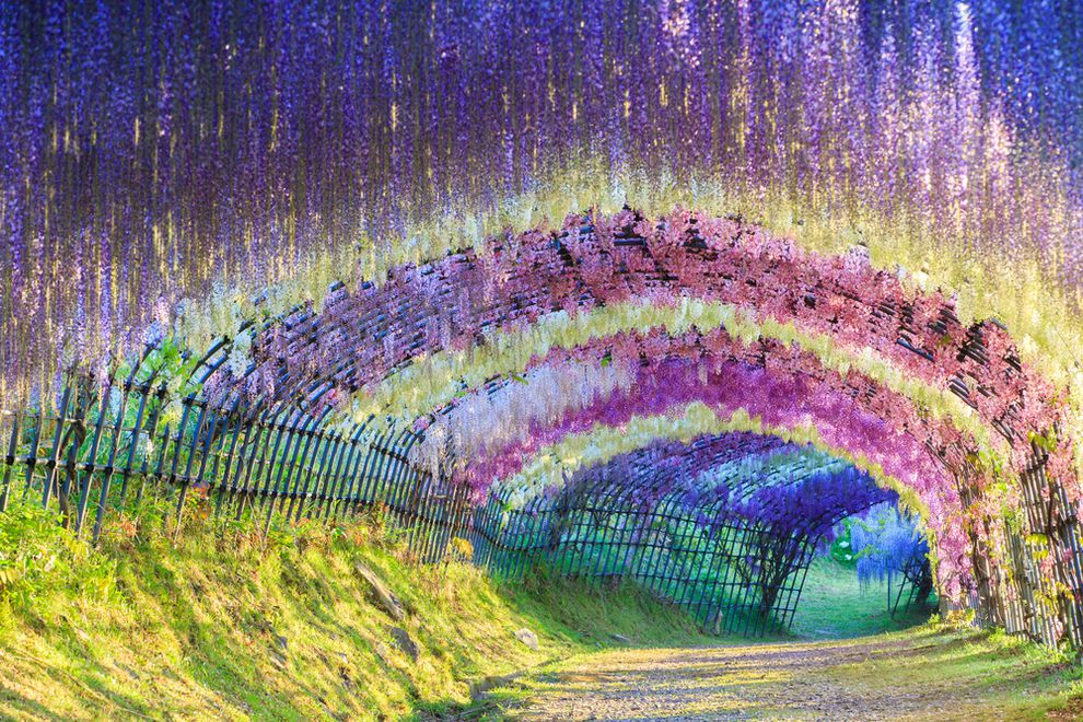great-wisteria-flower-tunnel-japan.jpg.990x0_q80_crop-smart